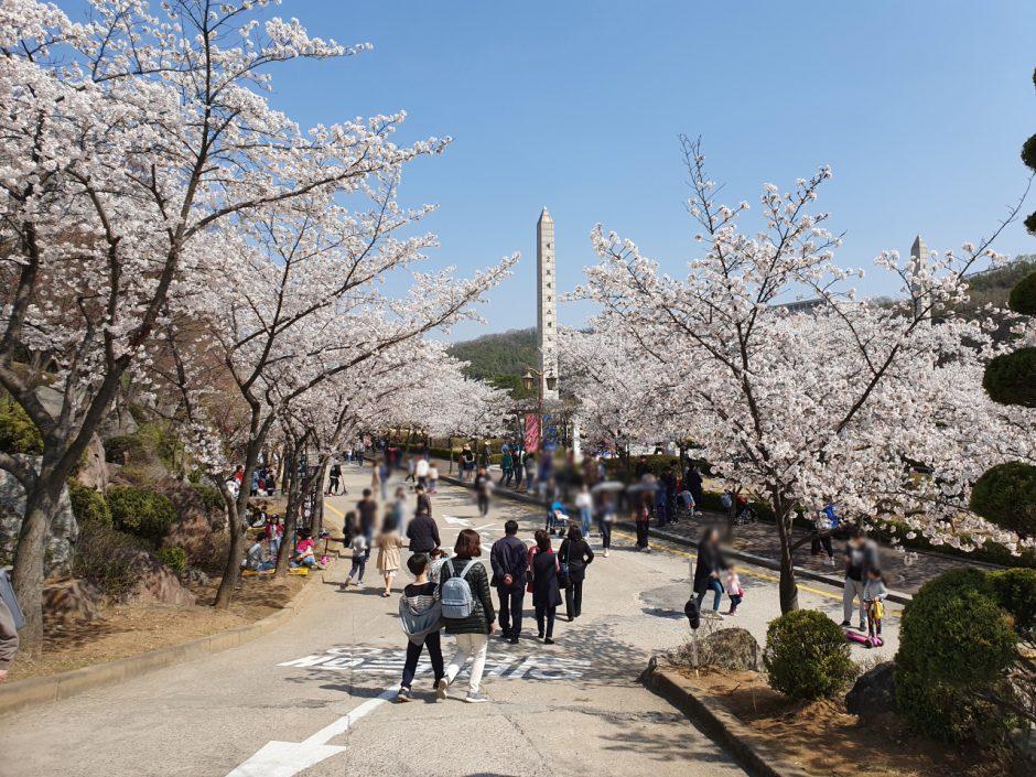 수원 벚꽃명소 (11)