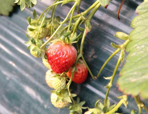 딸기체험 (1)
