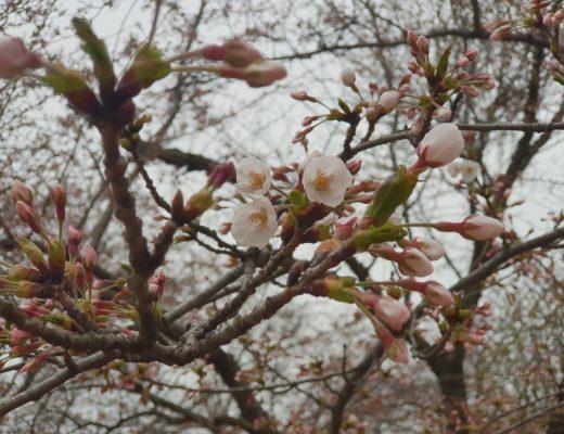 벚꽃캠핑 (45)