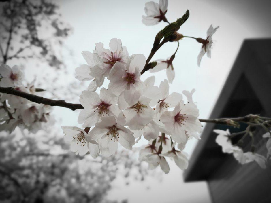 수원 벚꽃명소 (15)