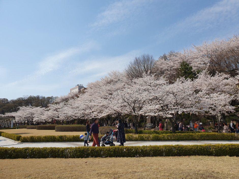 수원 벚꽃명소 (8)