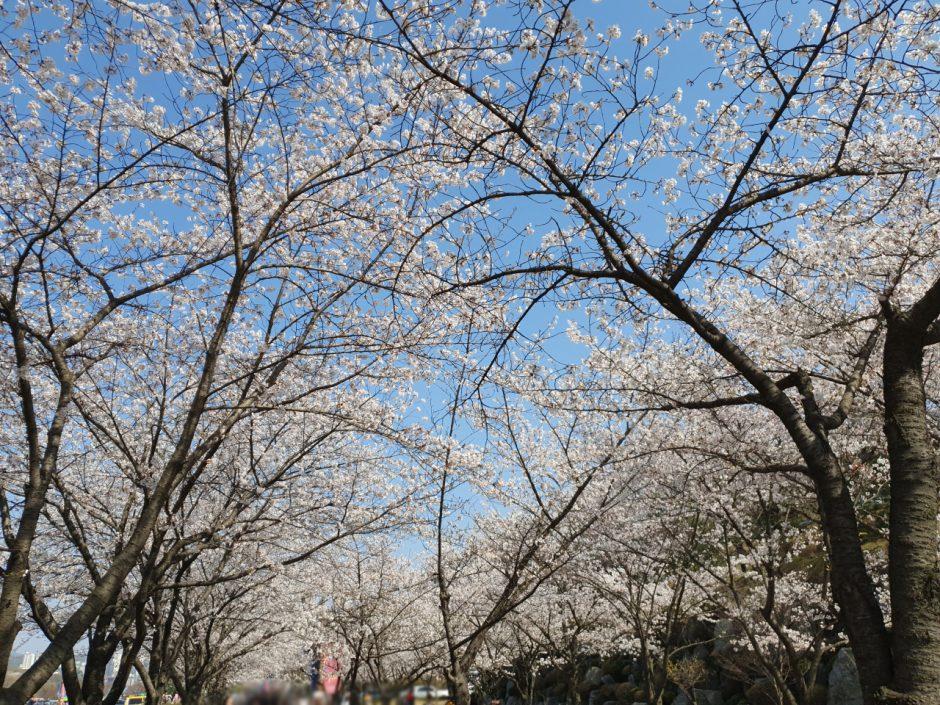 수원 벚꽃명소 (7)